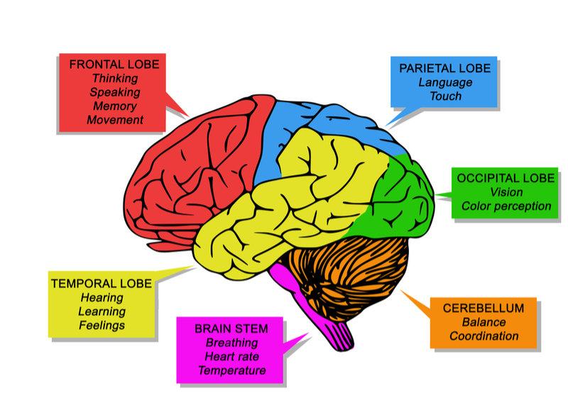 قسمت های مختلف مغز
